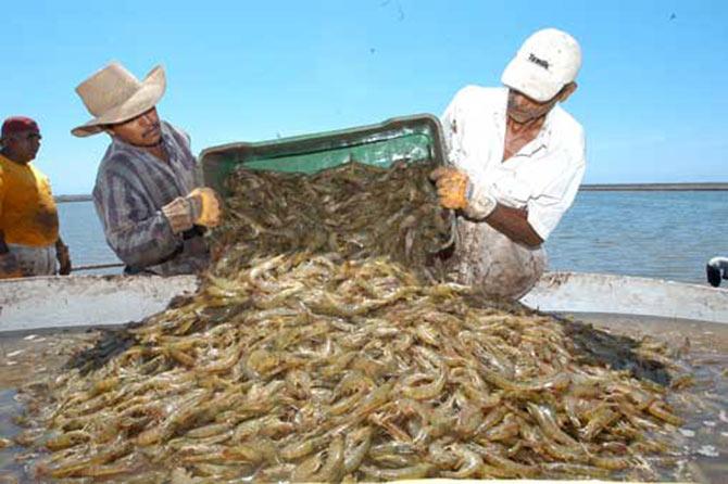 Investigadores Sinaloenses desarrollan dispositivo para mejorar cultivo de camarón