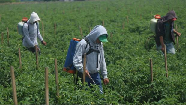 Pagan a jornaleras en Sinaloa 7 pesos por 2 semanas de trabajo
